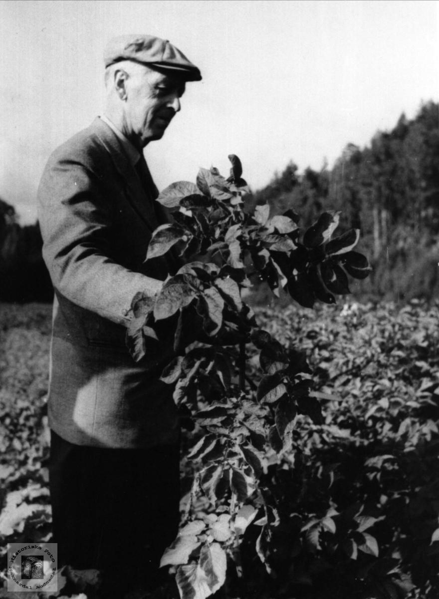 Bent Emil Skaar sjekker om det er potetål, Øyslebø.