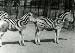 Zebraer. - T/S 'Kingsville' (b.1956, Lithgows Ltd., Port Gla
