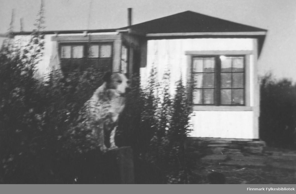 Malermester Einar Paulsens hytte i Fossen, geiteramsen står høy ved hytta så bildet er antakelig tatt i august. Foran i bildet en hund