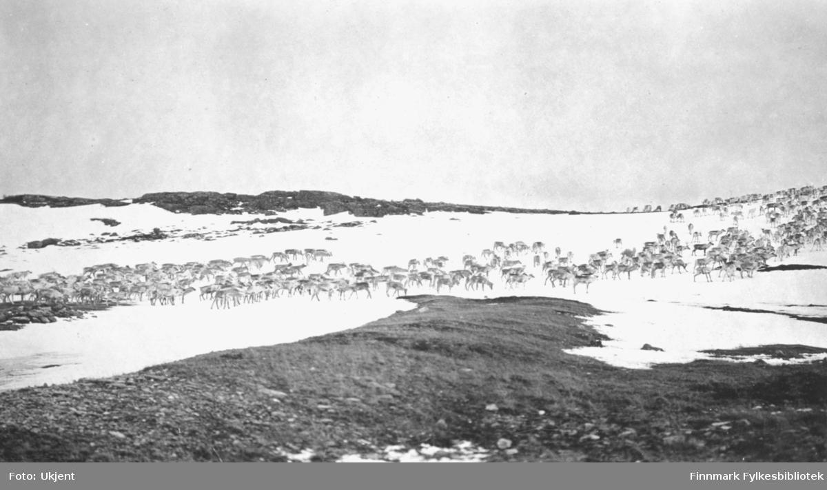 Bildet viser en større reinflokk på vandring/trekk over Finnmarksvidda, i området Karasjok. Bildet er trolig tatt april 1929.