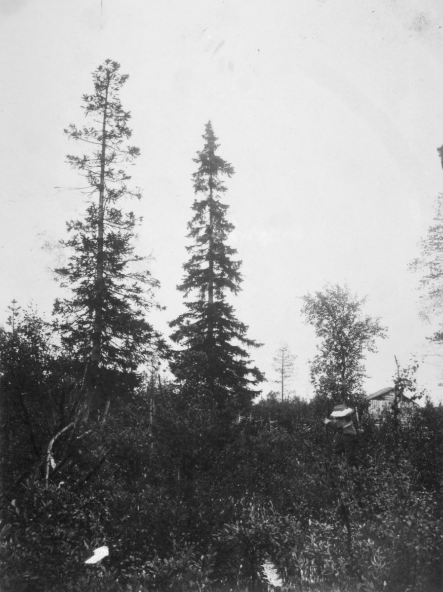 Verdens nordligste viltvoksende gran.Bjørnsund i Salmyjærvi.