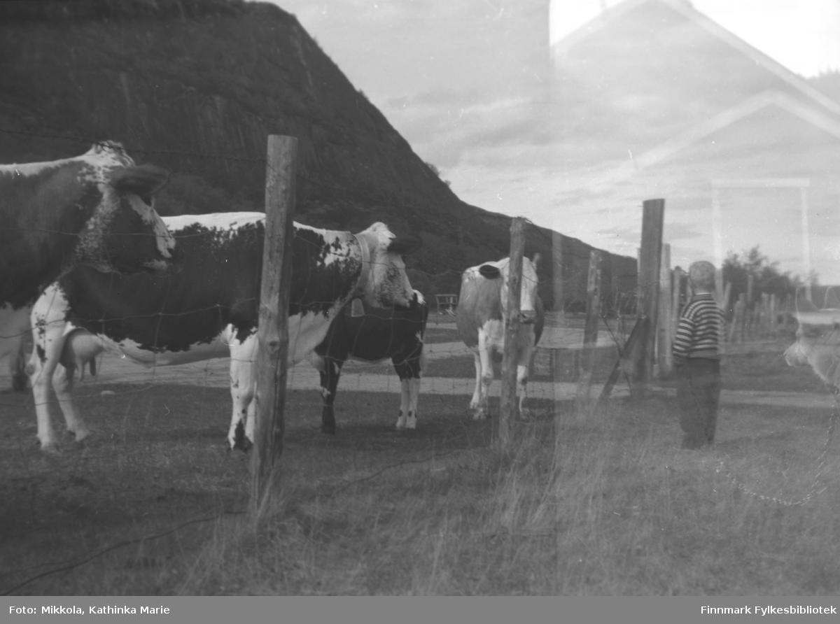 Sture Olsen Lie står ved hovedporten til gården Mikkelsnes i Neiden der kyrne går og beiter. Bildet er tatt ved samme anledning som 05007-302.