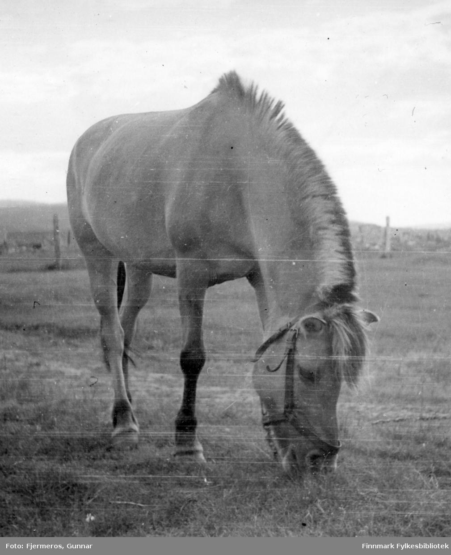 En hest går og gresser på en slette i nærheten av Lakselv.