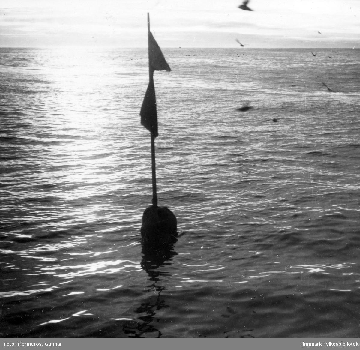 En garnbøye ligger i sjøen og bader i midnattsol. Stedet er ukjent, men bildet er tatt sommeren 1948.