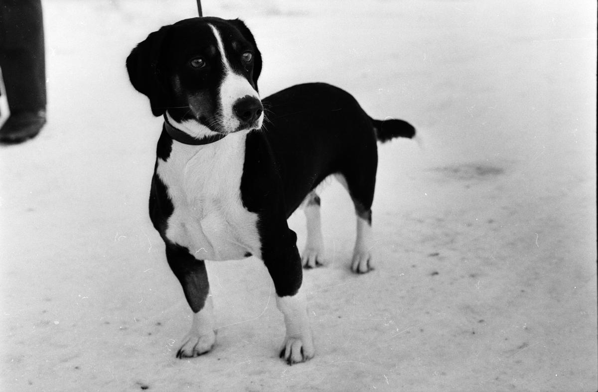 Hunden Tensy, Söderfors, Uppland