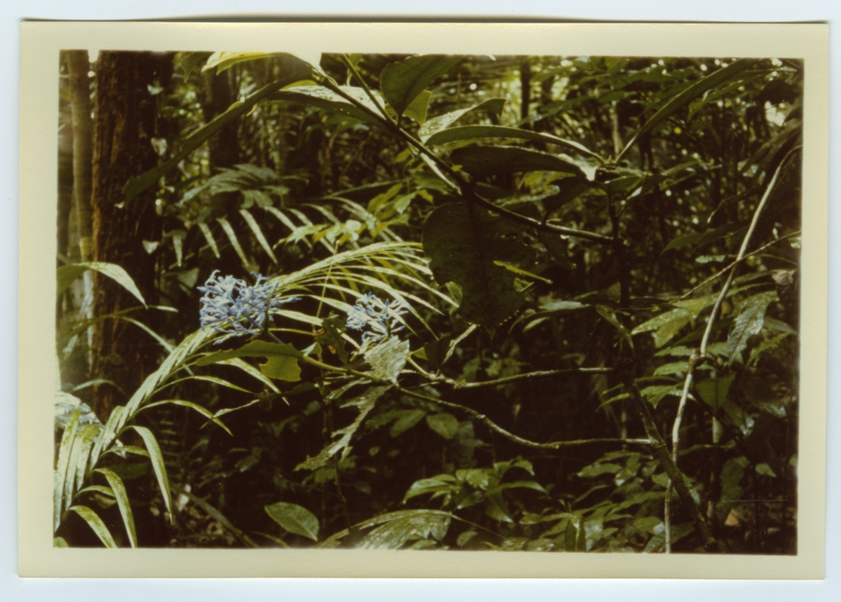 'Färgkopior efter diabilder tagna av Bengt Hubendick 1966 i  Amazonas, ett par mil norr om Manaus i Beléms botaniska trädgård och på Trinidad: ::  :: Närbild på träd och blommande buske. Regnskog. ::  :: Ingår i serie med fotonr. 4730-4768.'
