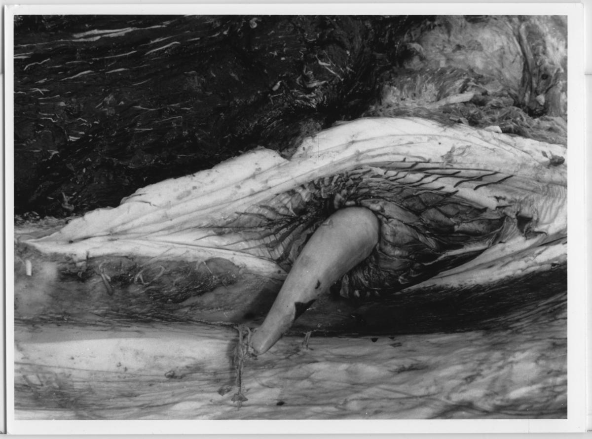 'Skelettering ::  :: Omhändertagandet av vikvalen, Nya Varvet. ::  :: Närbild på könsorgan hos hane, vikvalen. ::  :: Ingår i serie med fotonr. 6729:1-18.'