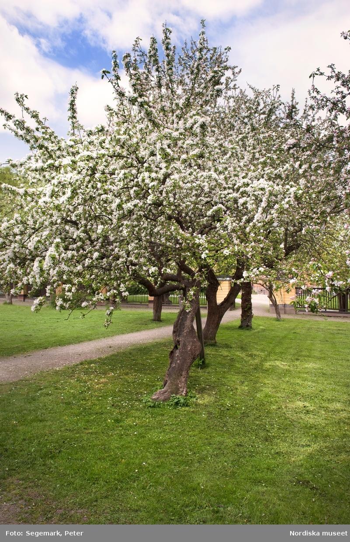 Svindersvik exteriöra bilder. Huset äppelträd, samt trädgårdsmästaren från Tyresö Antoine Berthelin.