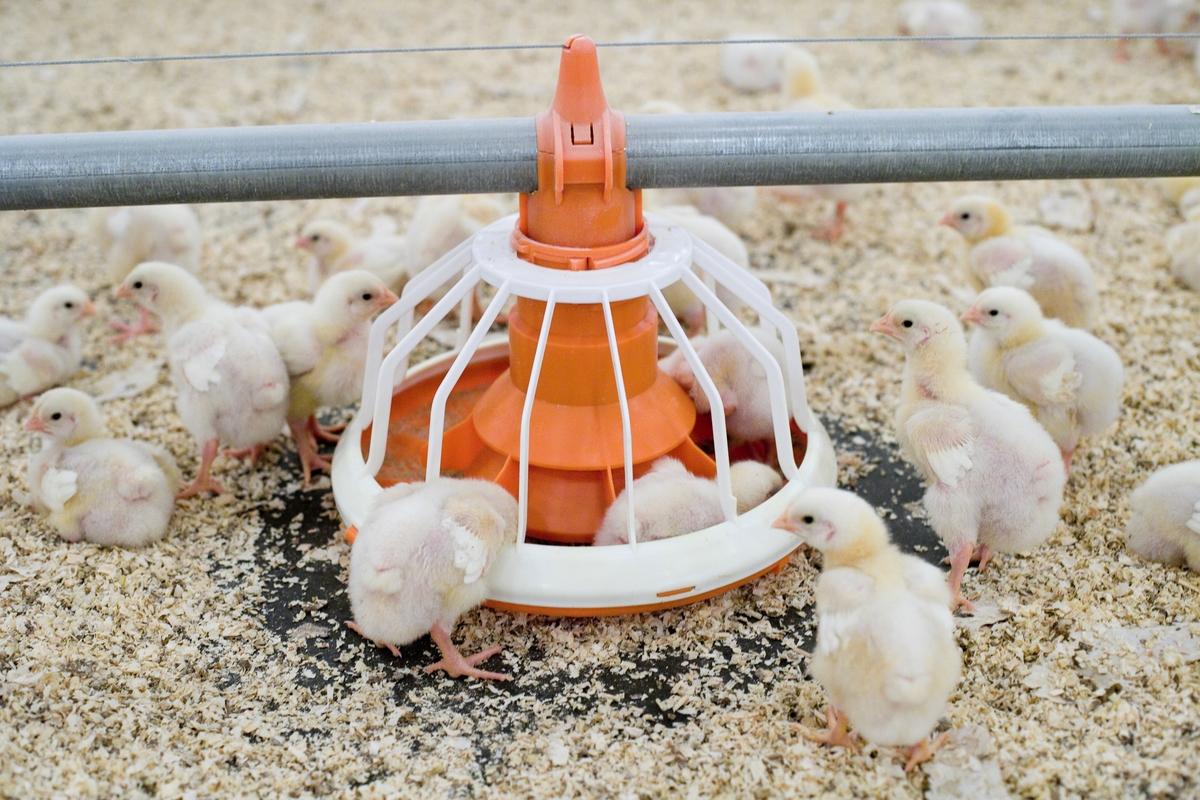 Foringsautomat og kyllinger i kyllingefarm