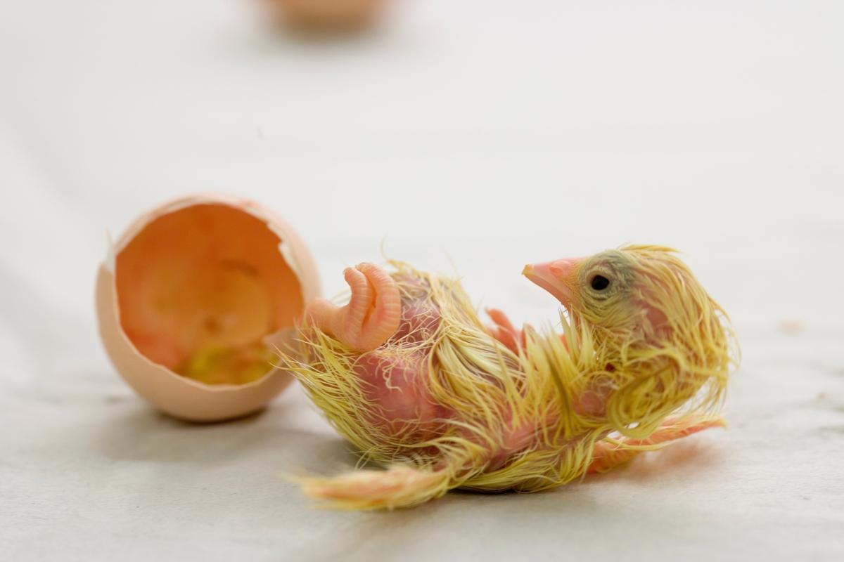 Klekking av hønseegg. Kyllingen er kommet ut av egget.
