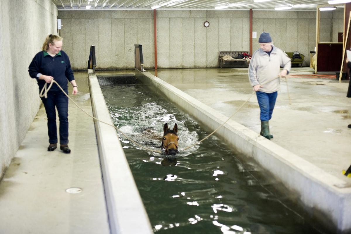 Svømme- og rehabiliteringssenter for hest. En hest svømmer i svømmebassenget.