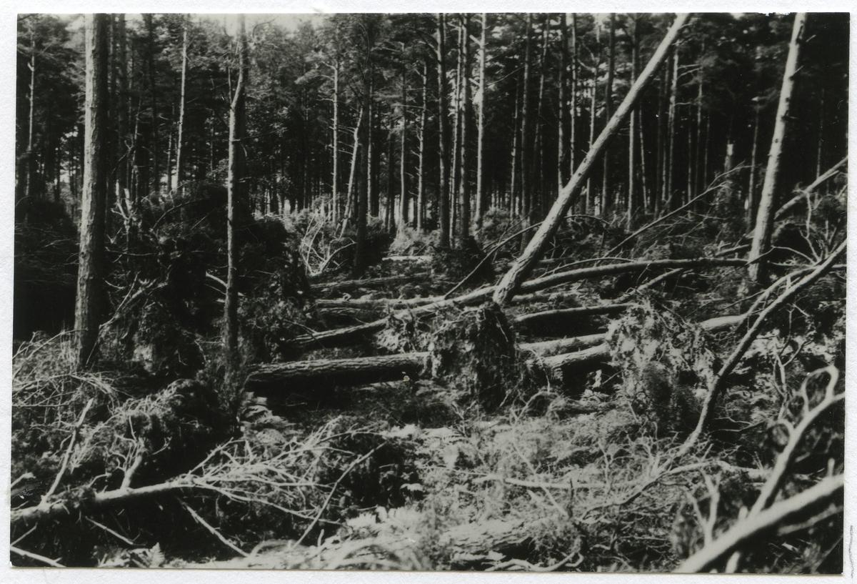 Fällda träd efter julistormen 1931.
