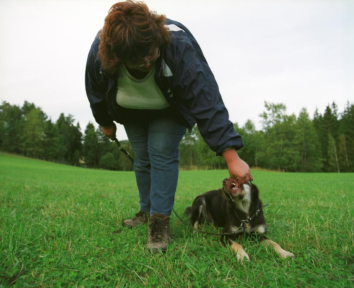 Hunden Ronja sammen med sin eier på et jorde der hunden brukes til å gjete sauer.