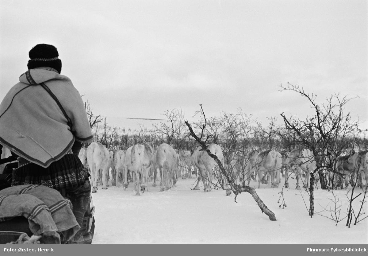 """Postfører Mathis Mathisen Buljo, bedre kjent som """"Post-Mathis"""" i samiske kretser, fotografert på snøskuteren ute på Finnmarksvidda. Her følger han en flokk rein som er på vandring.   Fotograf Henrik Ørsteds bilder er tatt langs den 30 mil lange postruta som strakk seg fra Mieronjavre poståpneri til Náhpolsáiva, videre til Bavtajohka, innover til øvre Anárjohka nasjonalpark som grenser til Finland – og ruta dekket nærmere 30 reindriftsenheter. Ørsted fulgte «Post-Mathis», Mathis Mathisen Buljo som dekket et imponerende område med omtrent 30.000 dyr og reingjetere som stadig var ute i terrenget og i forflytning. Dette var landets lengste postrute og postlevering under krevende vær- og føreforhold var beregnet til 2 dager. Bildene gir et unikt innblikk i samisk reindriftskultur på 1970-tallet. Fotograf Henrik Ørsted har donert ca. 1800 negativer og lysbilder til Finnmark Fylkesbibliotek i 2010."""