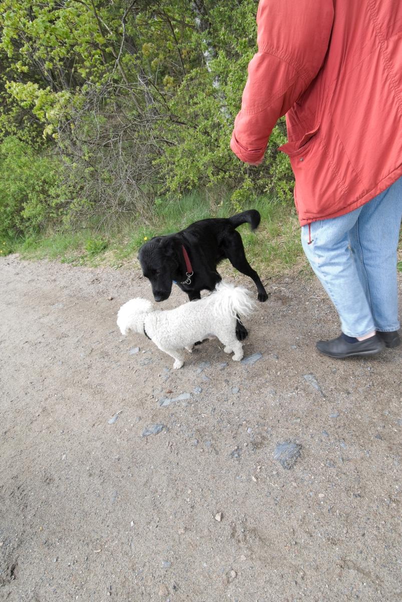 Hunden Chico på tur sammen med sin eier hilser på en annen hund.