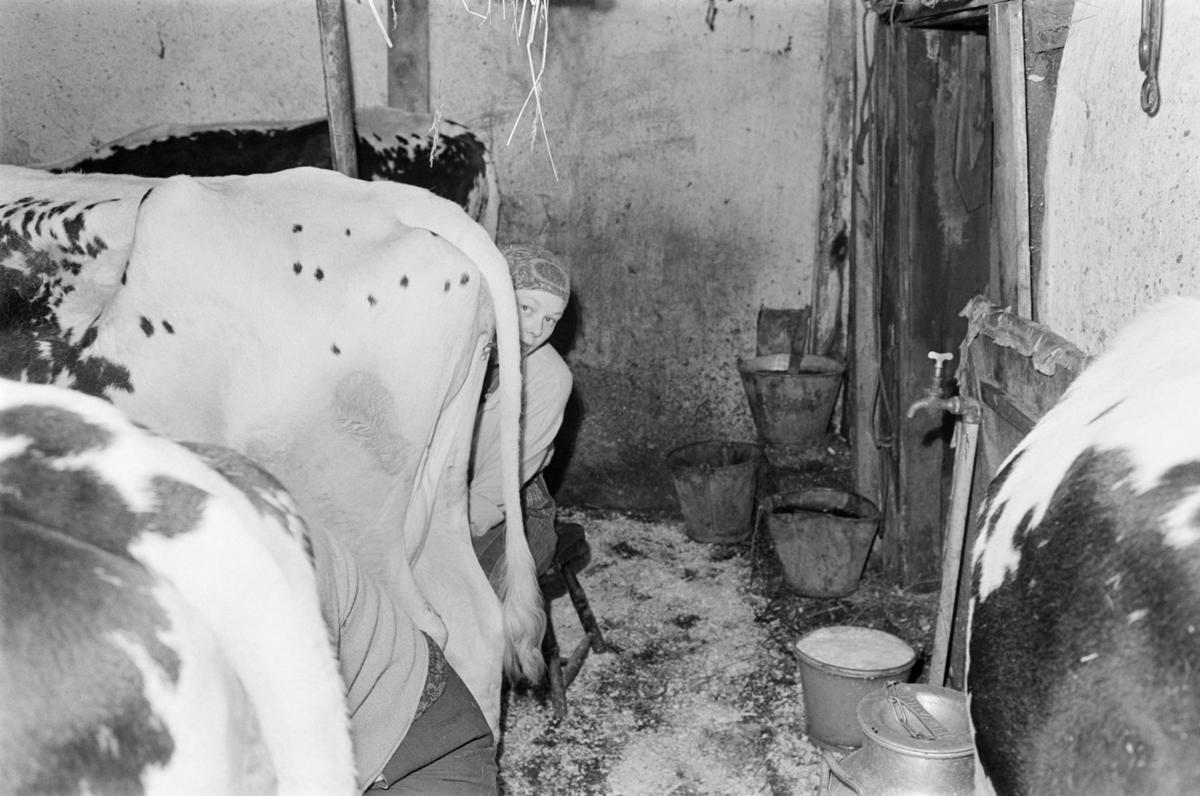 En kvinne melker kyr på Røros.