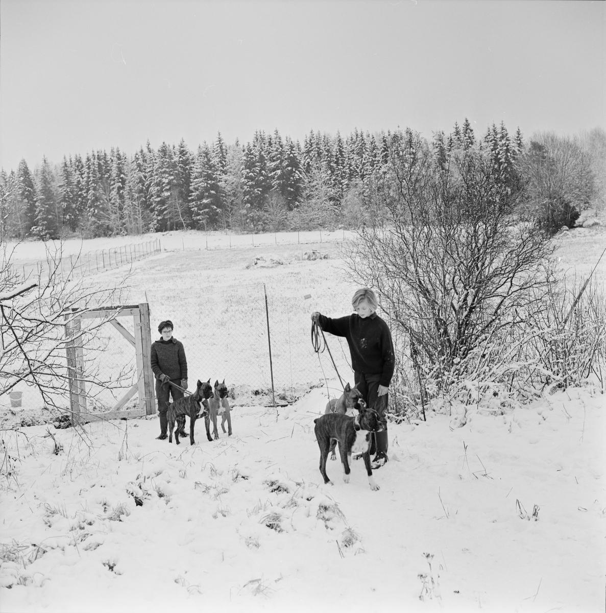 Rastning av boxerhundar, Raggboda hundpensionat, Skyttorp, Uppland 1962