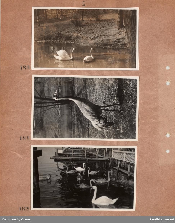 Motiv: Utlandet, Djur ; Svanar i en sjö vid bryggor.