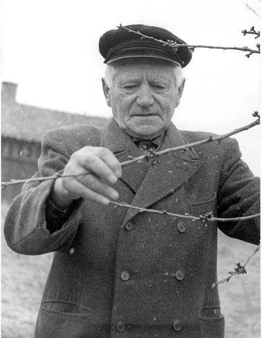 Porträtt av trädgårdsmästare Ernst Stark i Röttle. Han tittar på några grenar av ett fruktträd.