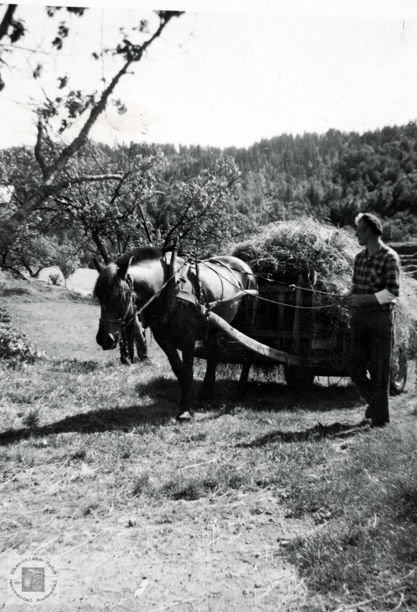 Oddvar Iglebekk kører høy med bestefars hest. Grindheim Audnedal.