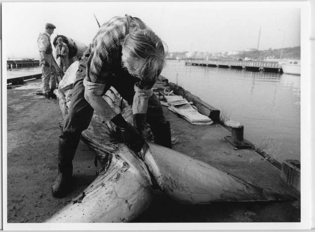 'Skelettering ::  :: Omhändertagandet av vikvalen, Nya Varvet. Flera personer från museet arbetar med valen: ::  :: Erling Haack, i förgrunden,  skelleterar vikvalen. ::  :: Ingår i serie med fotonr. 6729:1-18.'