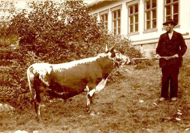 Telemarkskyr. Oksen Tordenskjold, som er hentet fra Kviteseid i Telemark, leid av Gunnar Moen, 1901.