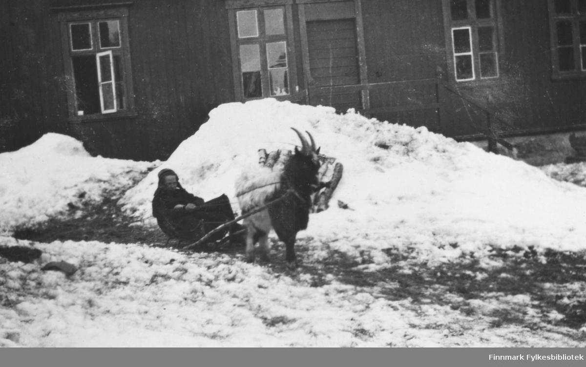 Ebba og Bukken, 1917. Kvinne som bruker en bukk som trekkdyr. Kvinnen sitter i en liten slede som står parkert foran et trehus. Kvinnen er kledd i lue og sjal. Det er vinter og en stor snøskavl ligger rett bak sleden. Kvinnens lue ser ut til å være en samisk lue.