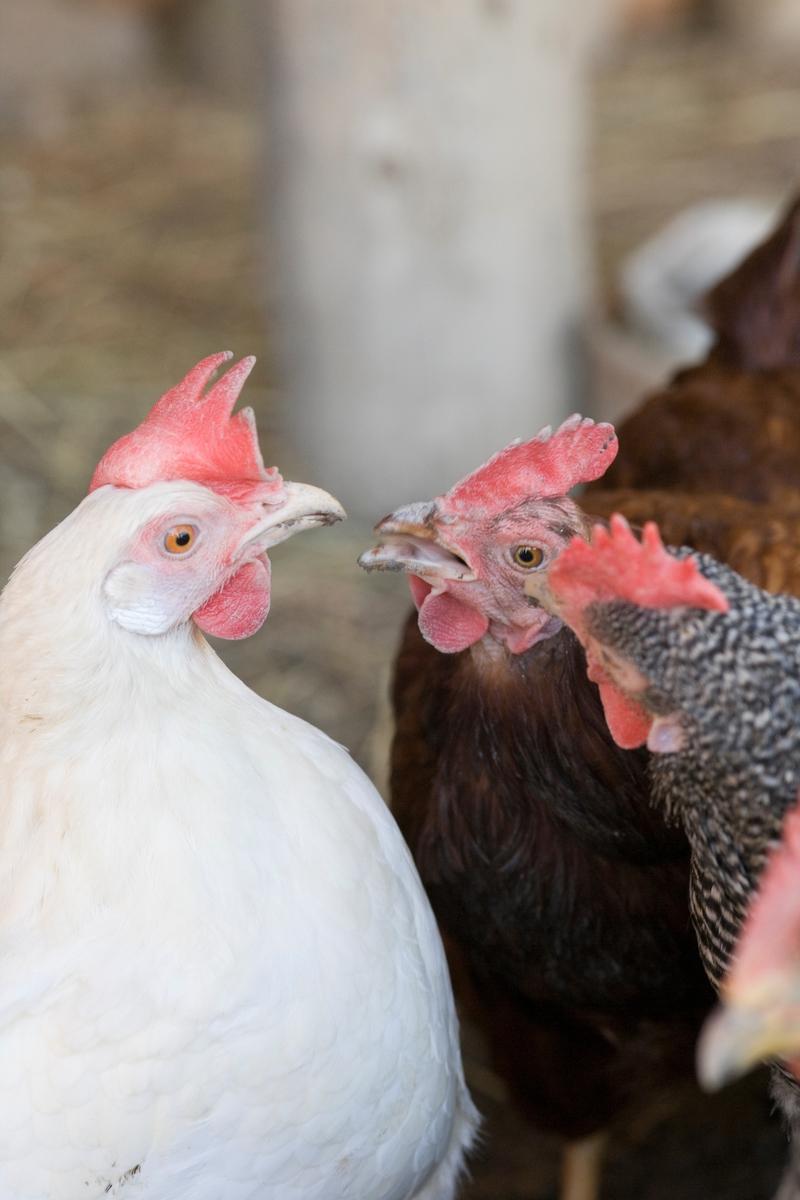 To høner i hønsehus