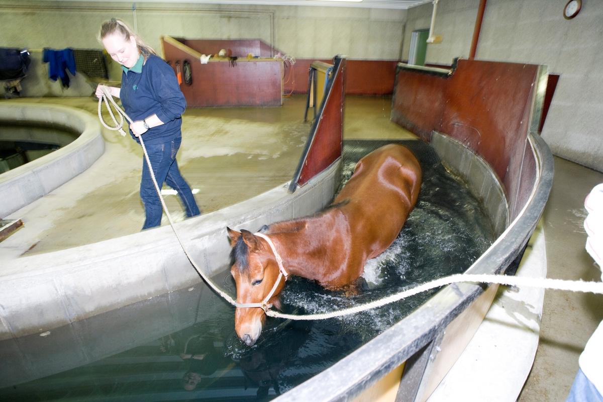 Svømme- og rehabiliteringssenter for hest. En hest er på vei ned i svømmebassenget.