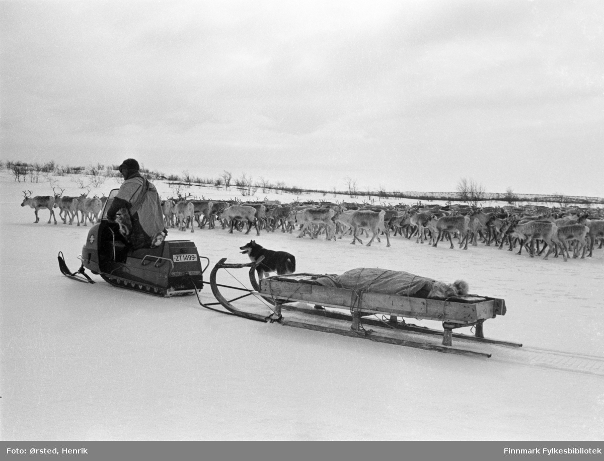 """Postfører Mathis Mathisen Buljo, bedre kjent som """"Post-Mathis"""" i samiske kretser, møter en reindriftssame i arbeid med reinflokken, langt ute på Finnmarksvidda. Reindriftssamen kjører skuter med hund i bånd ved siden av. På slenden er utstyr pakket inn i reinskinn.   Fotograf Henrik Ørsteds bilder er tatt langs den 30 mil lange postruta som strakk seg fra Mieronjavre poståpneri til Náhpolsáiva, videre til Bavtajohka, innover til øvre Anárjohka nasjonalpark som grenser til Finland – og ruta dekket nærmere 30 reindriftsenheter. Ørsted fulgte «Post-Mathis», Mathis Mathisen Buljo som dekket et imponerende område med omtrent 30.000 dyr og reingjetere som stadig var ute i terrenget og i forflytning. Dette var landets lengste postrute og postlevering under krevende vær- og føreforhold var beregnet til 2 dager. Bildene gir et unikt innblikk i samisk reindriftskultur på 1970-tallet. Fotograf Henrik Ørsted har donert ca. 1800 negativer og lysbilder til Finnmark Fylkesbibliotek i 2010."""