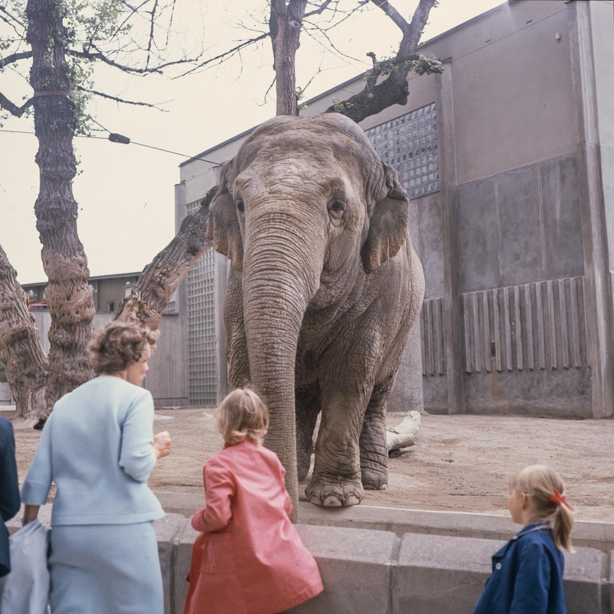 Den Asiatiska elefanten Bambina vid elefanthuset på Skansen. Barn och vuxna besökare.