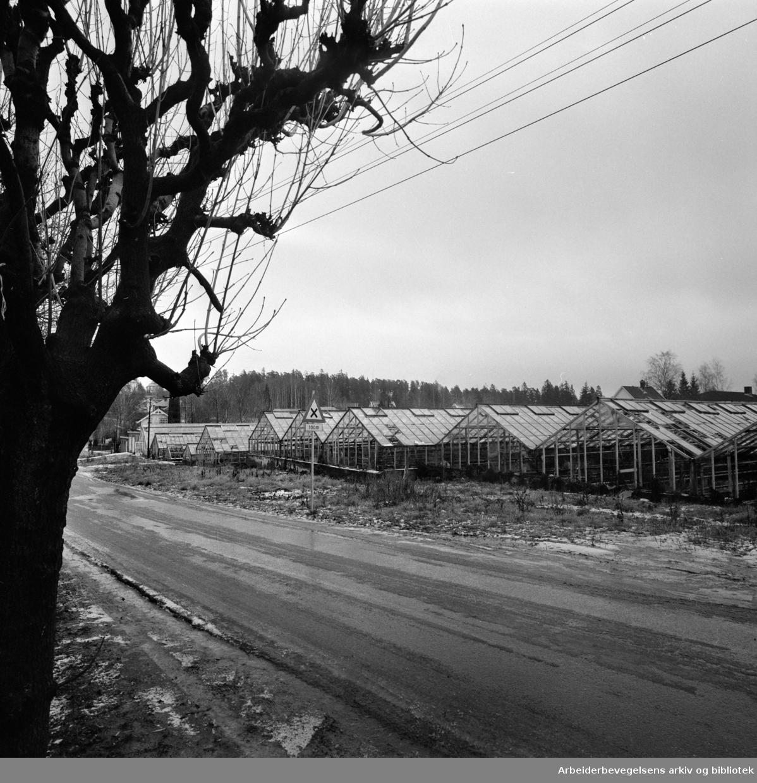 Bestum. Bestumveien 84. Brødrene Olsens gartneri..November 1974