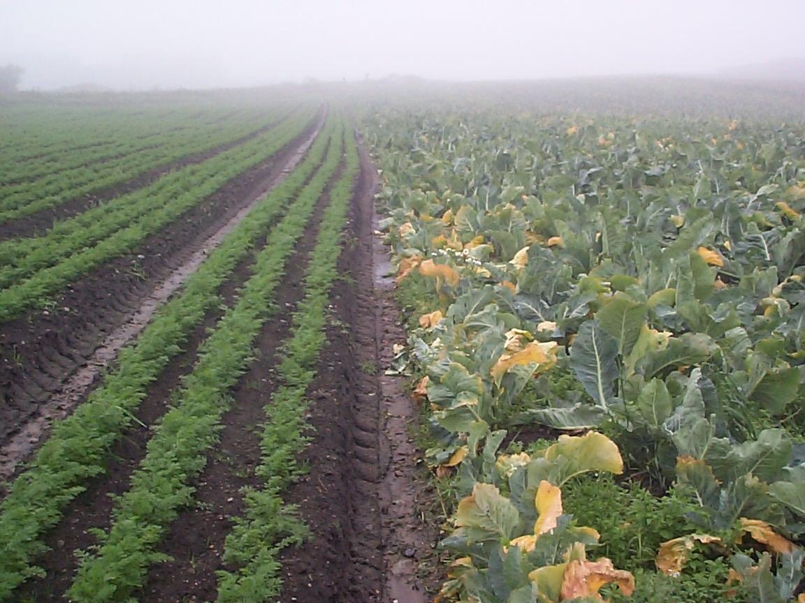 Feltarbeid 15. august 2000: Ta opp gulrot for bunting på Vik i Klepp, Jæren. Vasking av gulrot i buntar. To kopplam. Blomkålåker.
