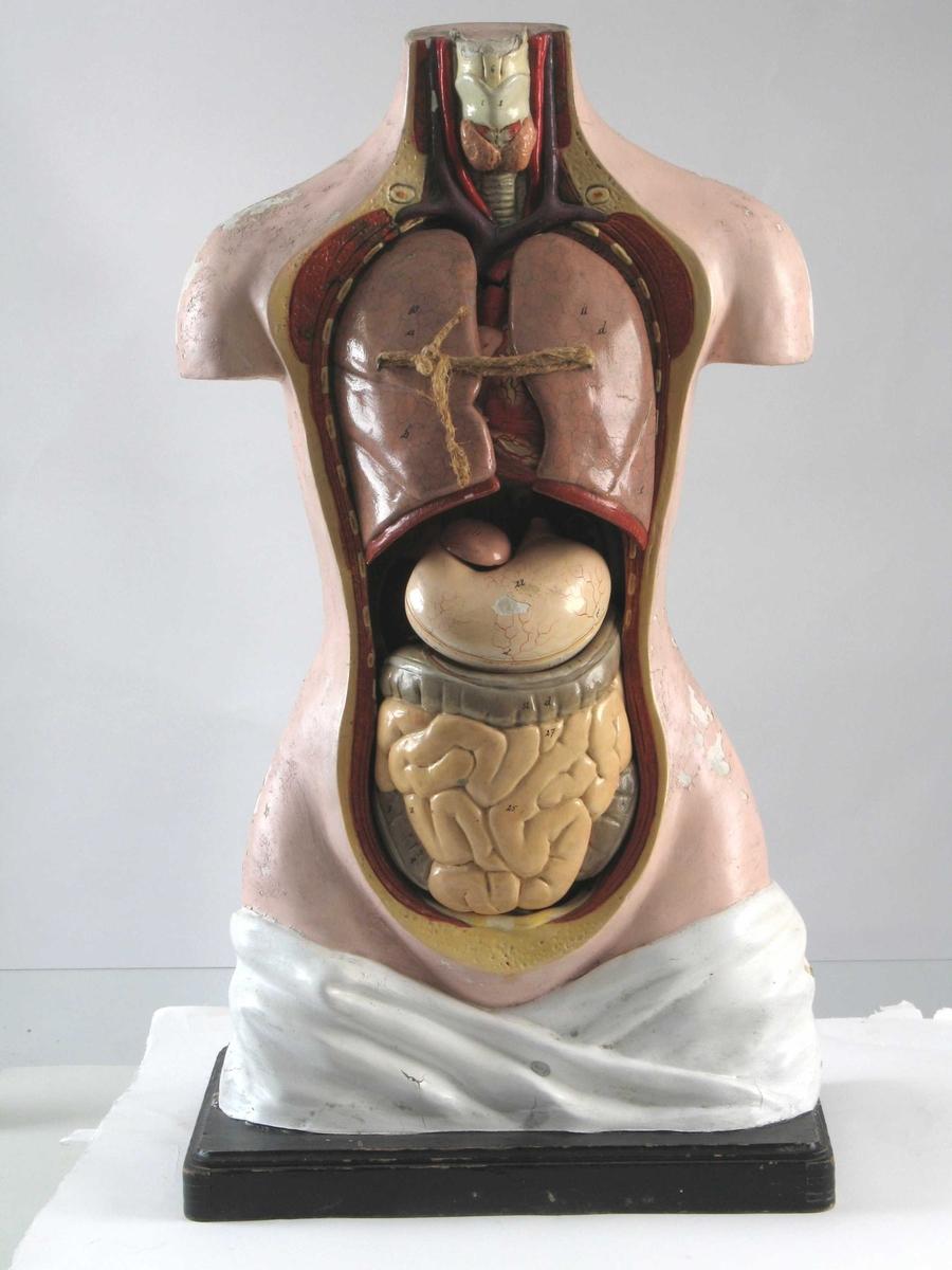 Torso som viser de ulike indre organer, disse kan også tas ut av modellen. Står på en plate av tre.