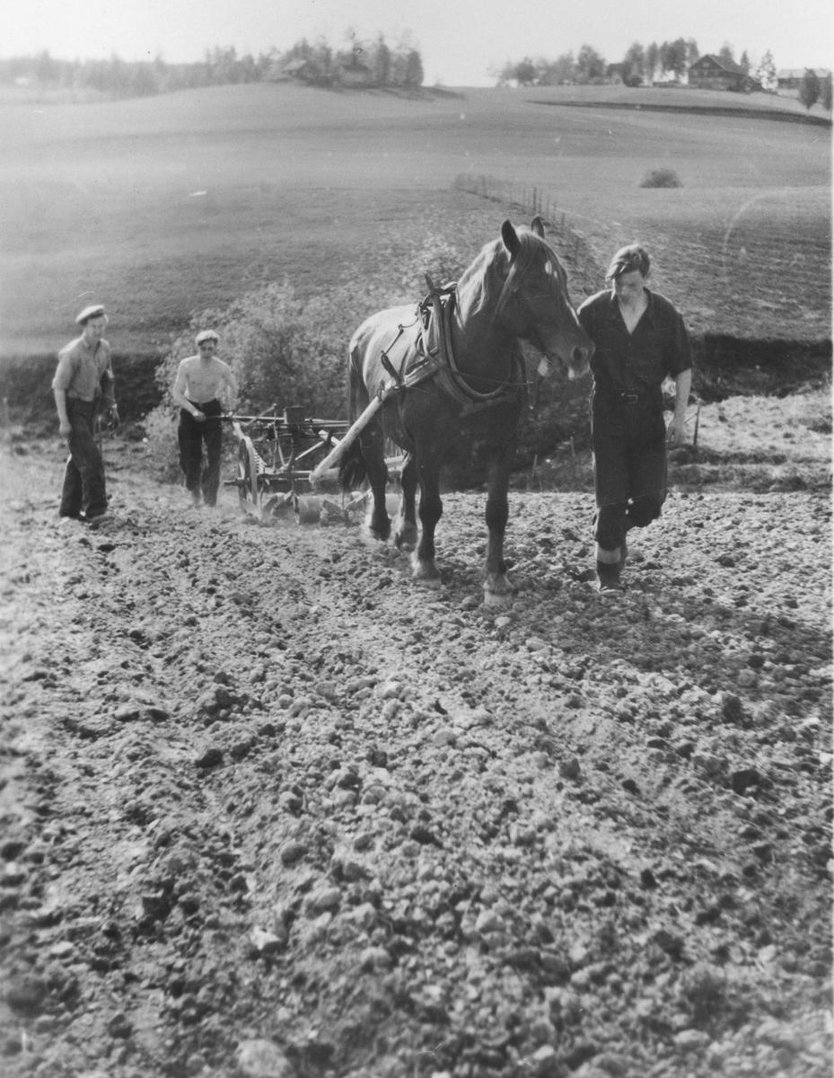 Radrensing med hesteredskap på Hvam Landbruksskole. Gjerdasjordet