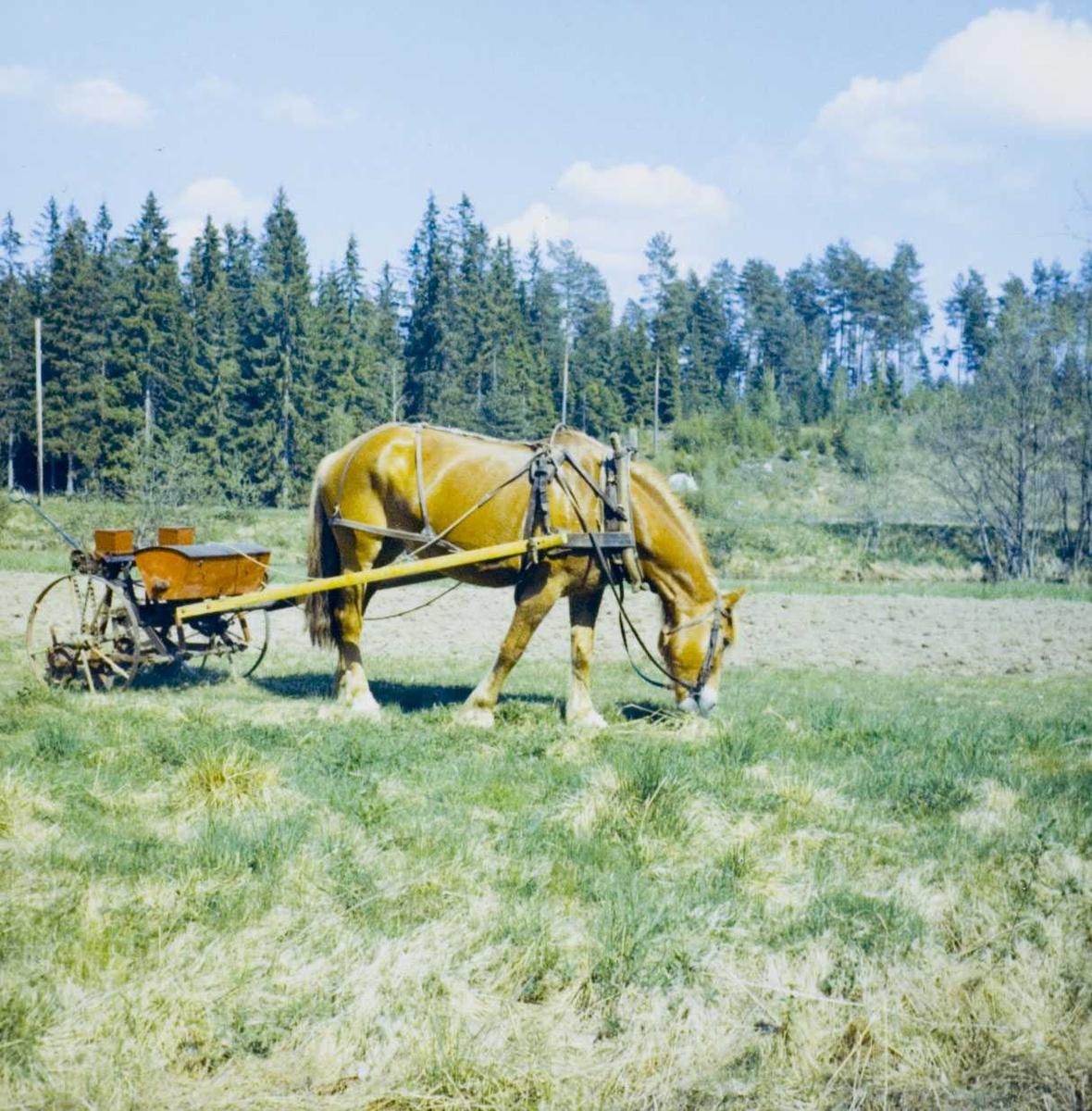 Hest og trollmaskin til å så kålrotfrø.