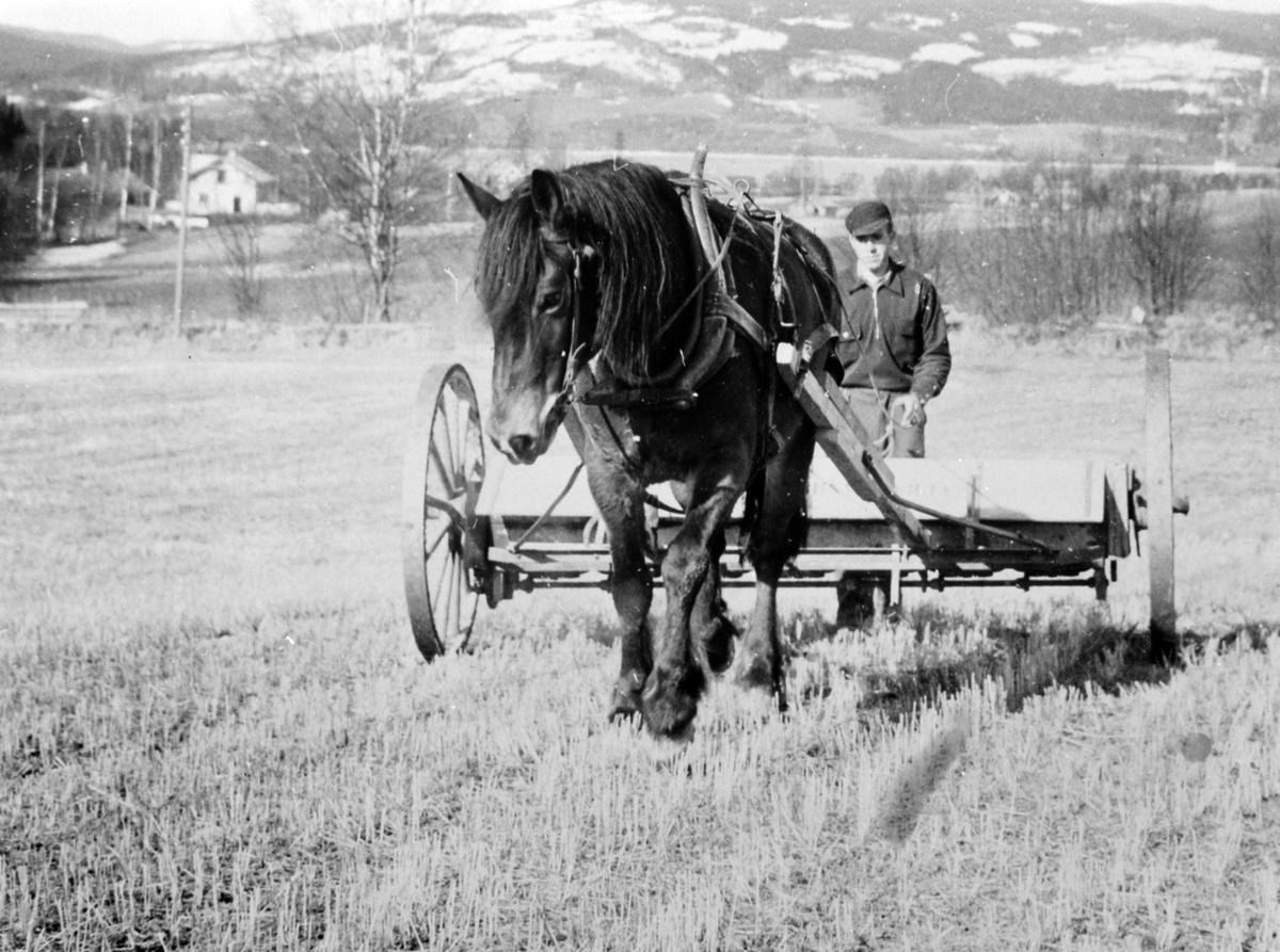 Våronn på Samsal, Ringsaker. Gjødsling av åker med hest og kunstgjødselspreder.
